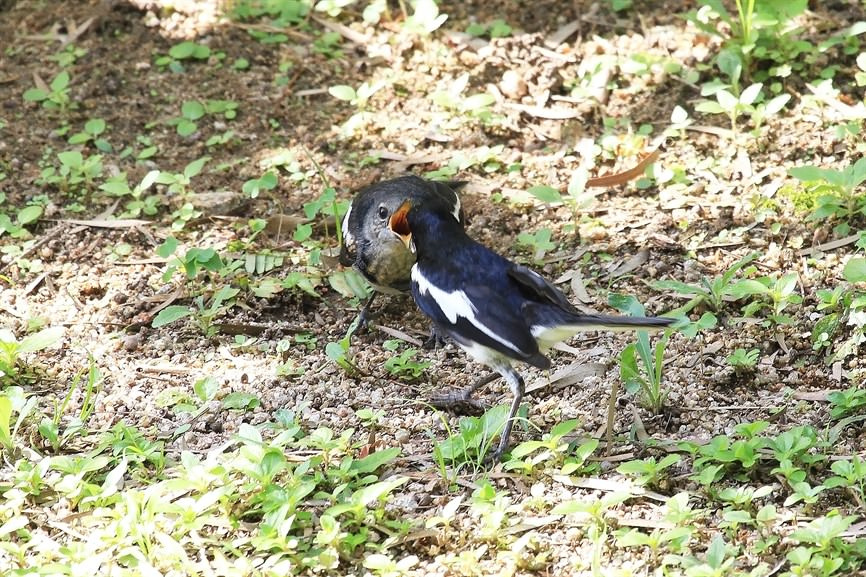 A fledgling is the most mature stage of hatchling. Birds reaching this stage have well developed plumage and maybe able to fly a short distance but the parent would still be caring for them. In this photo, you can see a Oriental Magpie Robin (Copsychus saularis) fledgling and its parent. (Photo Credit: Walter Ma)