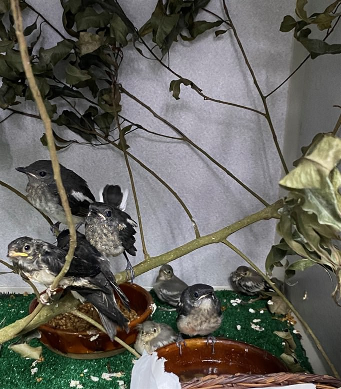 Some of the young Oriental Magpie Robins received this year under care at the KFBG Wild Animal Rescue Centre – also in the same picture three young White Wagtails (Motacilla alba) and a Barn Swallow (Hirundo rustica) (Photo Credit: KFBG)