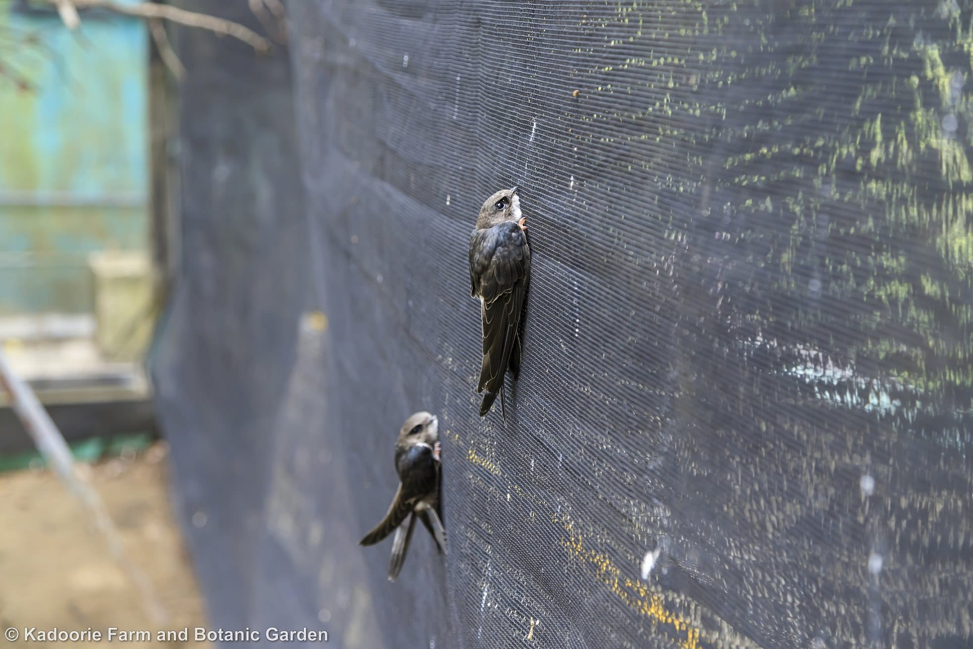 Some species of birds such as house swifts (Apus nipalensis) have special foraging methods and do not eat from a dish. These species of birds need to be hand fed carefully by trained animal keepers during rehabilitation and on release they are place vertically as in the photograph so that they are able to take flight easier (Photo credit: Walter Ma)