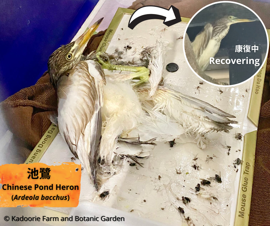 Pond Heron Survives Glue-trap